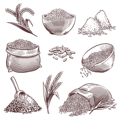 Sketch Rice Vintage Hand Drawn Asian Grains And Ear Pile Of Wild Rice Cereals Paddy Sack Agriculture Engraving Isolated Vector Set - Arte vetorial de stock e mais imagens de Agricultura