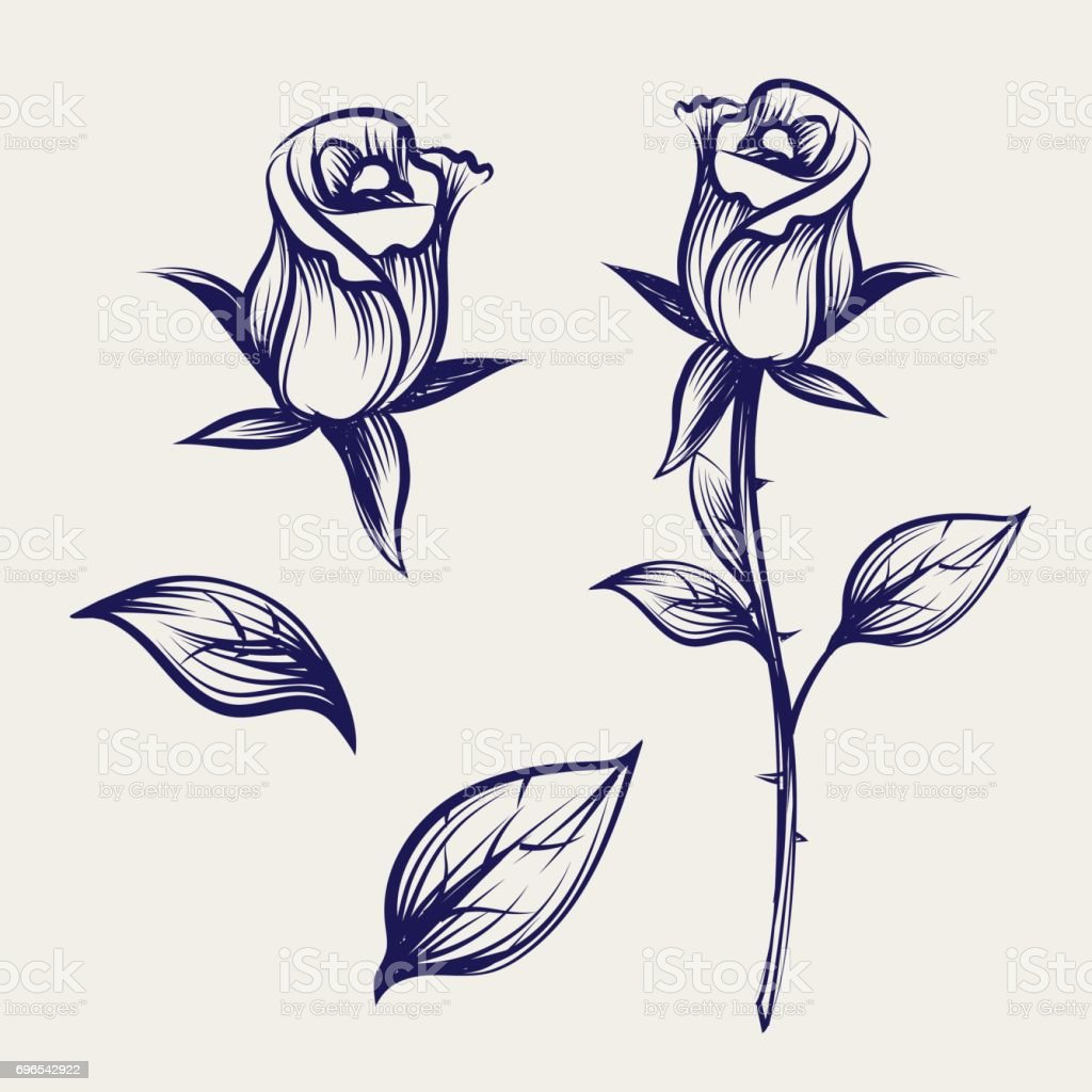 Sketch rose flower, bud and leaves vector art illustration