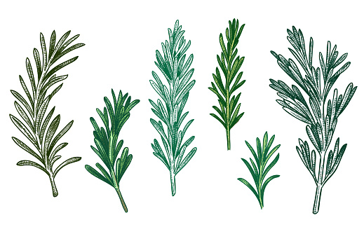 Sketch rosemary. Fresh rosemarys branches with leaves, retro woodcut. Vector isolated hand drawn vintage spice illustration set.