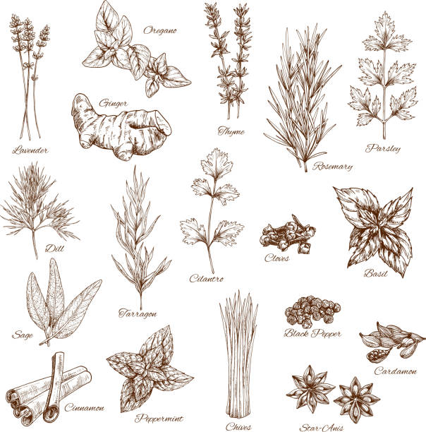Sketch spices and herbs vector flavorings vector art illustration