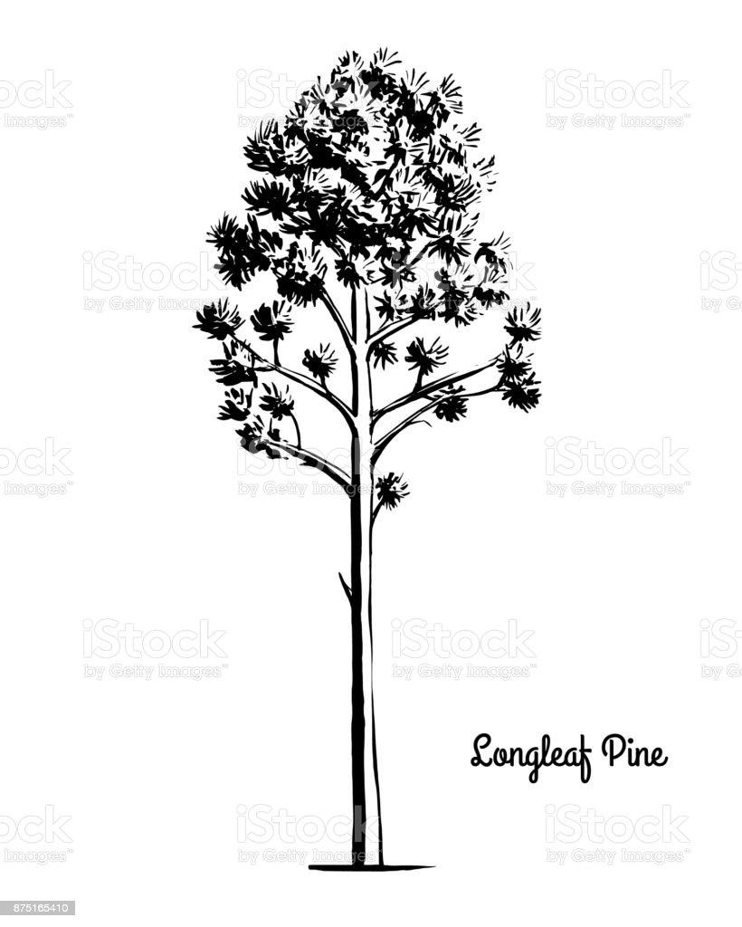 sketch tree illustration longleaf pine stock vector art more