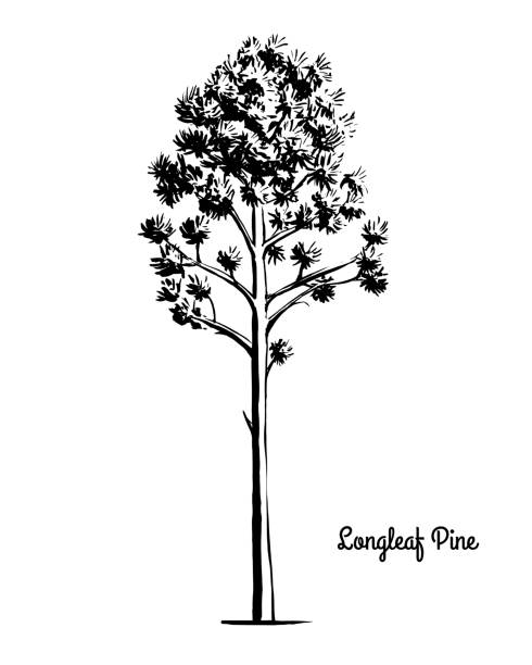 Sketch tree illustration Longleaf Pine vector art illustration