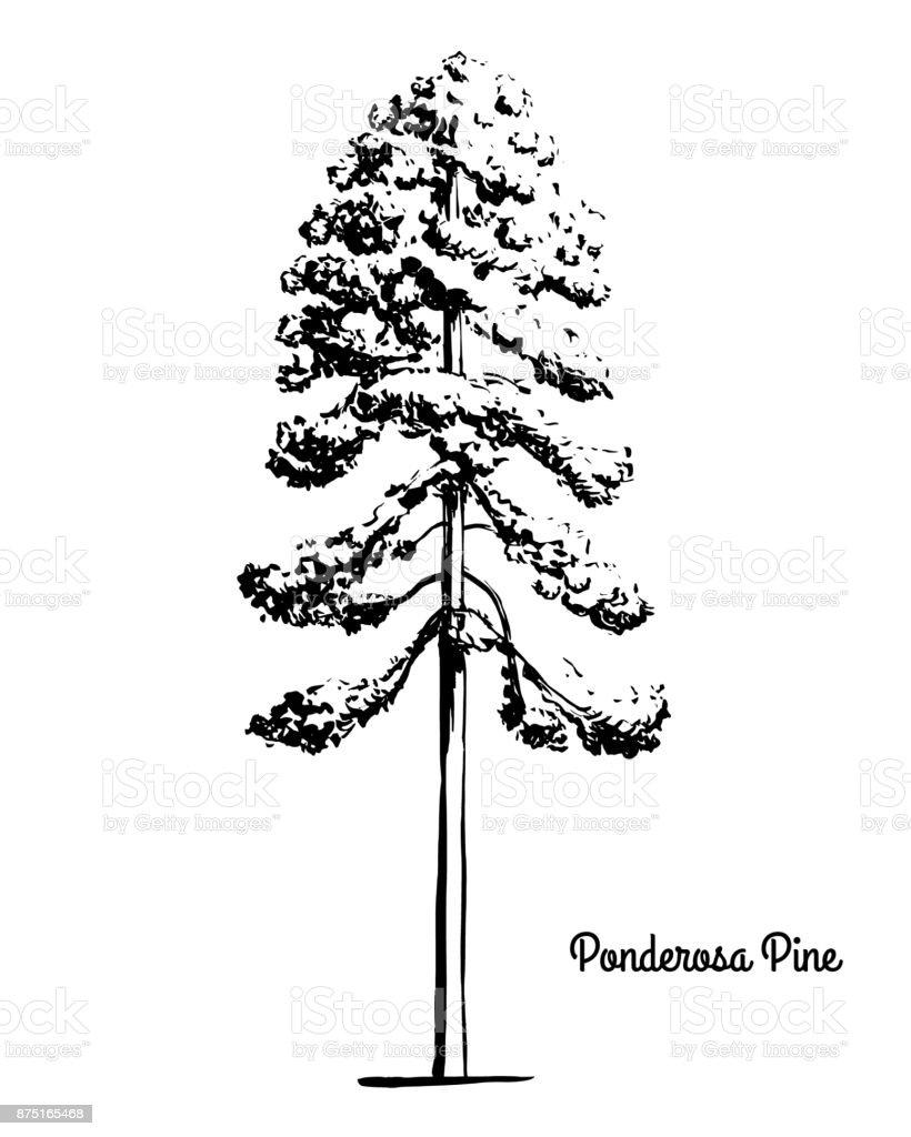 Ilustración de Boceto De Ilustración De árbol De Pino Ponderosa y ...