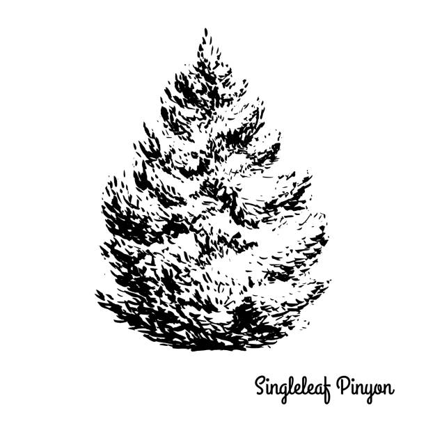 pinon tree coloring pages | Royalty Free Bristlecone Pine Tree Clip Art, Vector Images ...