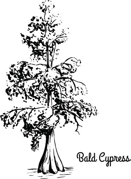 stockillustraties, clipart, cartoons en iconen met schets boom illustratie - bald cypress tree