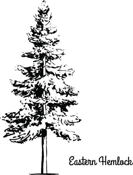 Royalty Free Hemlock Tree Clip Art, Vector Images ...