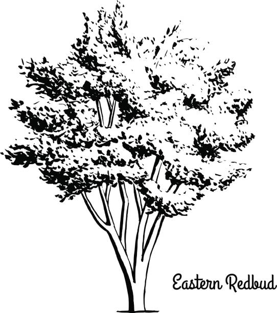 Redbud tree coloring pages ~ Best Cercis Siliquastrum Illustrations, Royalty-Free ...