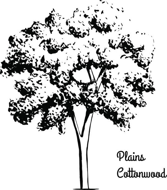 Sketch tree illustration Vector sketch illustration of Plains Cottonwood. Black silhouette of plant isolated on white background. Official state tree of Wyoming. cottonwood tree stock illustrations