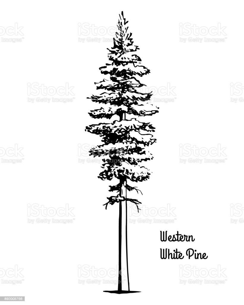 Ilustración de Bosquejo De árbol Ilustración Occidental Pino Blanco ...