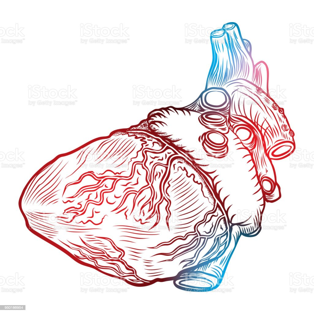 Sketched Hand Drawn Line Art Decorative Human Heart In Anatomy ...