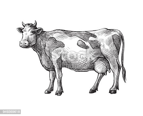 sketches of cow drawn by hand. livestock. cattle. animal grazing vector illustration