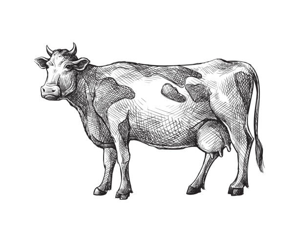 sketches of cow drawn by hand. livestock. cattle. animal grazing - farm animals stock illustrations, clip art, cartoons, & icons