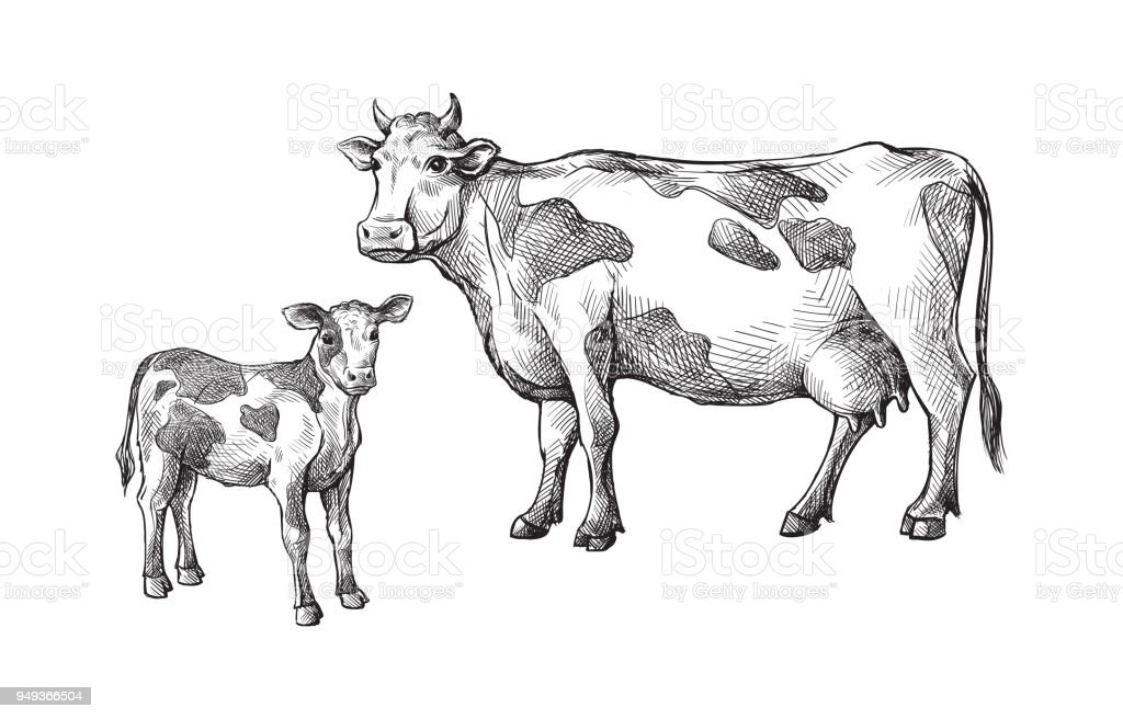 Skizzen Von Kühen Und Kalb Von Hand Gezeichnet Vieh Rinder Tiere ...