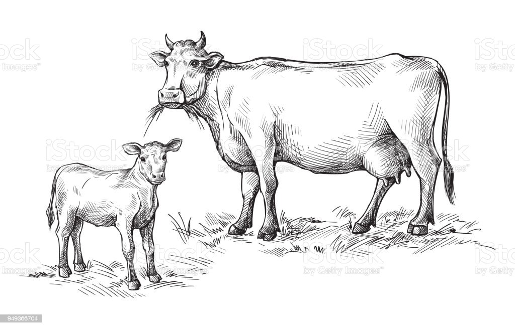 sketches of cows and calf drawn by hand. livestock. cattle. animal grazing vector art illustration