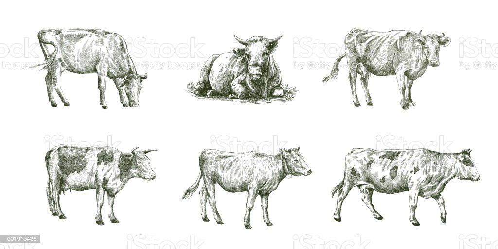 sketches of cows drawn by hand. livestock. cattle. animal grazing - Illustration vectorielle