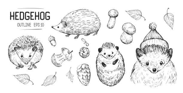 skizzen von igel. handgezeichnete illustrationen in vektor konvertiert - igel stock-grafiken, -clipart, -cartoons und -symbole