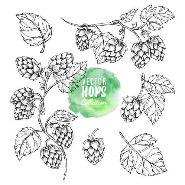 Sketches of hop plant. Hops vector set. Humulus lupulus illustration for packing, pattern, beer illustration. vector art illustration
