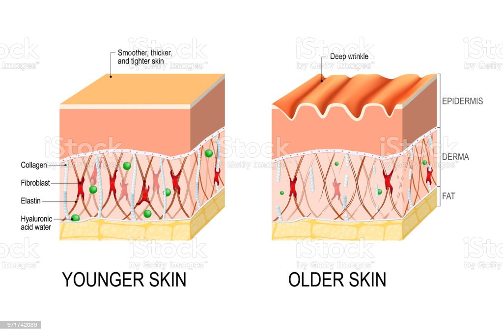 skin aging. difference between the skin of a young and elderly person vector art illustration