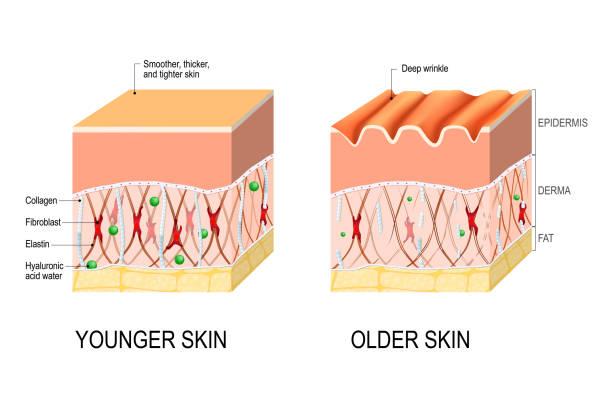 肌の老化。若者及び高齢者の肌の違い ベクターアートイラスト