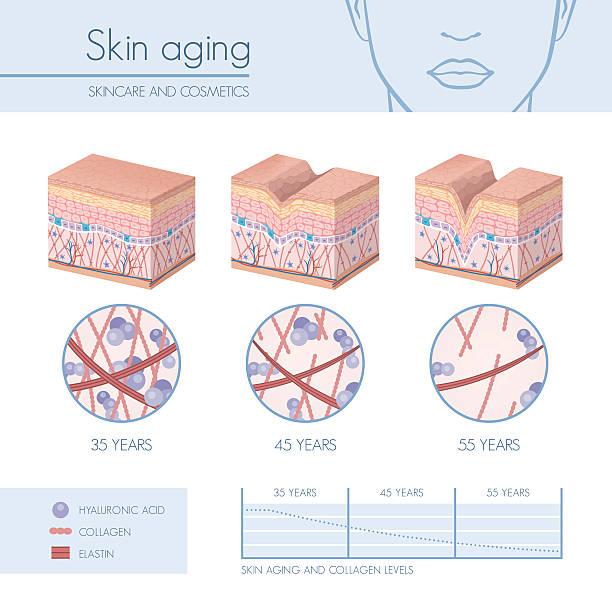 stockillustraties, clipart, cartoons en iconen met skin aging - menselijke huid