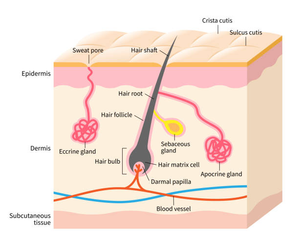 Skin anatomy illustration. Apocrine and eccine glands with hair structure on layered skin. Isolated on white background human skin layer with hair follicle, sweat and sebaceous glands. Medical, beauty, and health care use exocrine gland stock illustrations