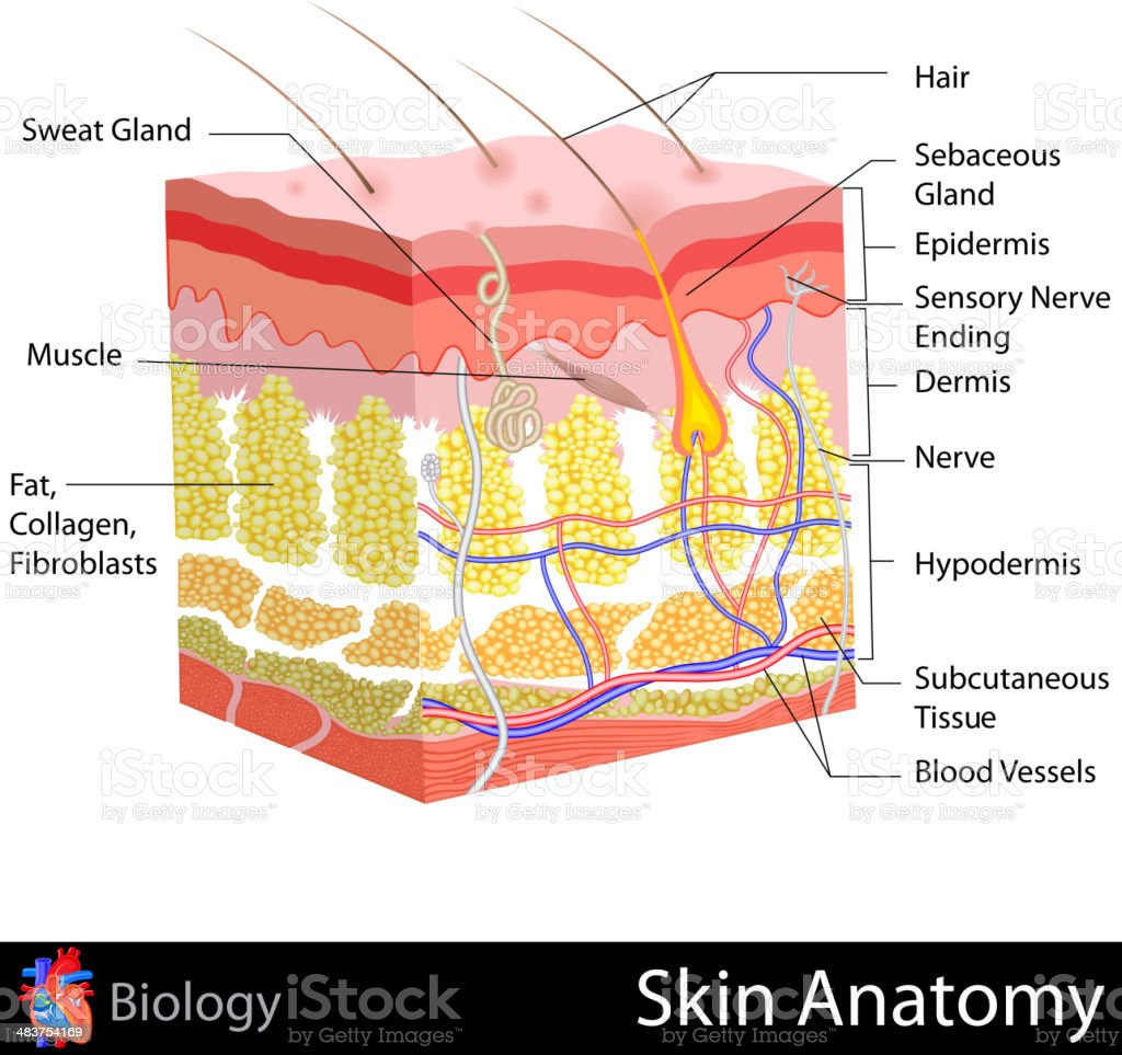 Skin Anatomy royalty-free stock vector art