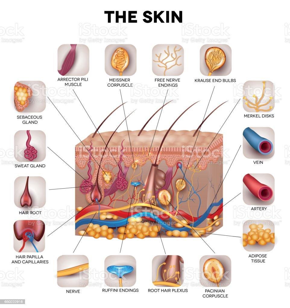 Ilustración de Anatomía De La Piel y más banco de imágenes de ...