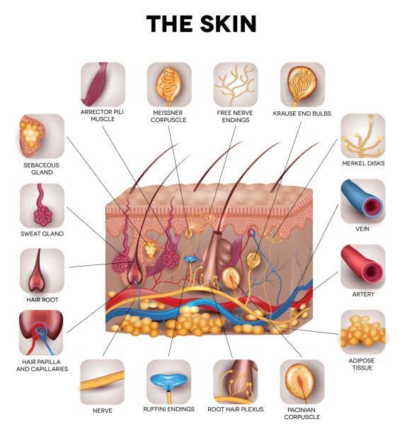 Royalty Free Skin Diagram Clip Art, Vector Images & Illustrations ...