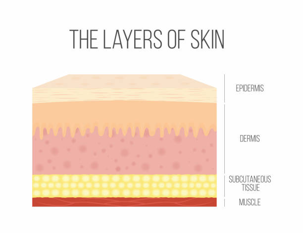stockillustraties, clipart, cartoons en iconen met lagen van de huid. gezonde, normale menselijke huid - menselijke huid