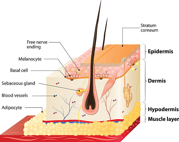 skin layers Layers Of Human Skin. Epidermis (horny layer and granular layer), Dermis (connective tissue) and Subcutaneous fat (adipose tissue) adipose tissue stock illustrations