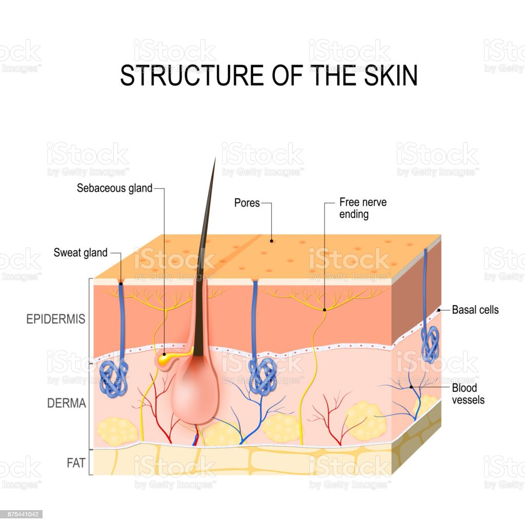 Skin Layers With Glands Stock Vector Art More Images Of Anatomy