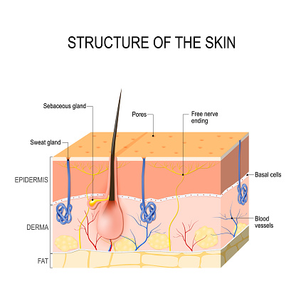 Skin Layers With Glands Stock Illustration - Download ...