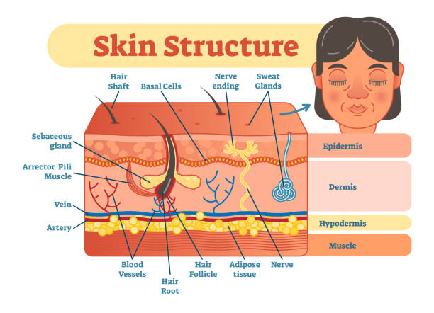 Skin structure vector illustration diagram with skin layers and main elements. Skin structure vector illustration diagram with skin layers and main elements. Educational medical dermatology information. adipose tissue stock illustrations