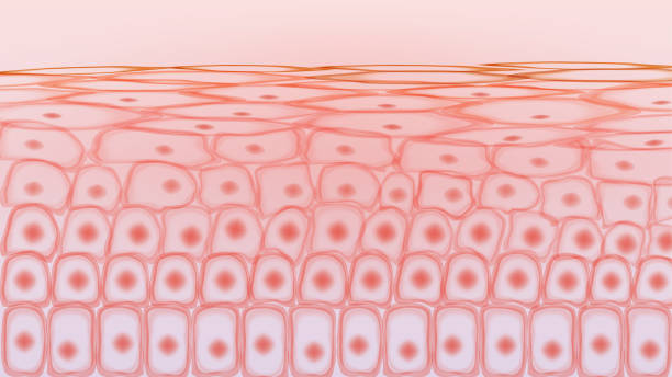 illustrazioni stock, clip art, cartoni animati e icone di tendenza di cellule del tessuto cutaneo - cellula
