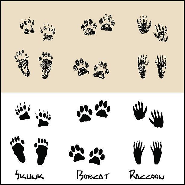 Skunk - Bobcat - Raccoon Normal and Grunge footprints of a Skunk , Bobcat and Raccoon . bobcat stock illustrations