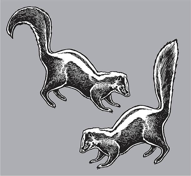 skunk - wild animal - skunk stock illustrations