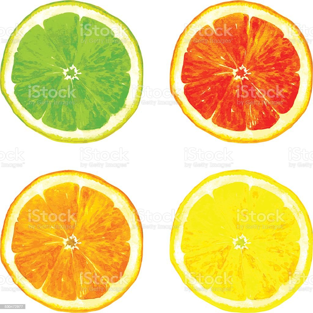 slice of citrus fruits drawing by watercolor vector art illustration