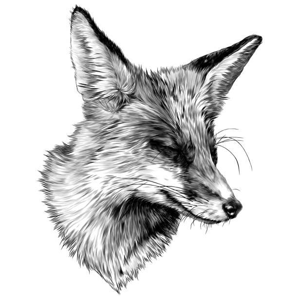 sly Fox face with closed eyes looks away squinting from the sun – artystyczna grafika wektorowa