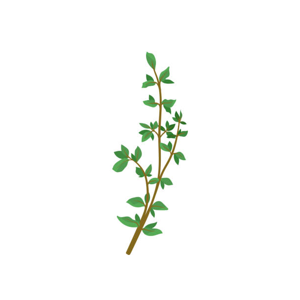 Small branch of fresh green thyme. Aromatic plant. Culinary herb with small leaves. Organic product. Flat vector icon Small branch of fresh green thyme. Aromatic plant. Culinary herb with small leaves. Used in food cooking and medicine. Organic product. Colorful vector icon in flat style isolated on white background. thyme stock illustrations