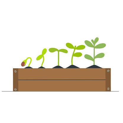 Small green seedlings growing in a wooden box. Isolated vector illustration.