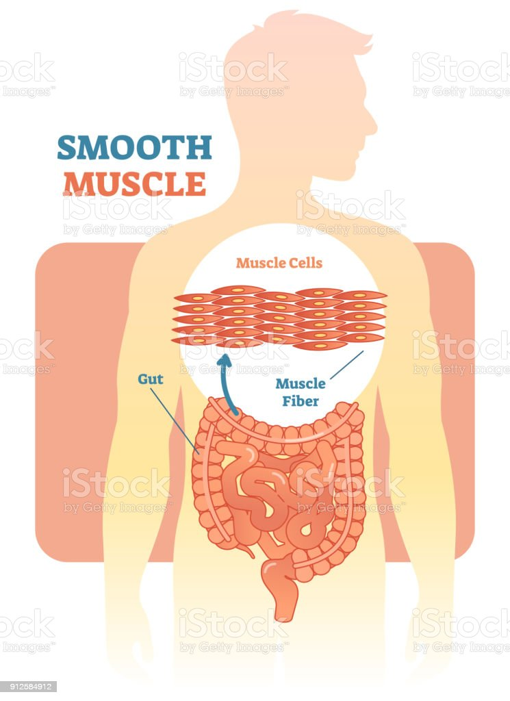 Smooth Muscle Vector Illustration Diagram Anatomical Scheme With