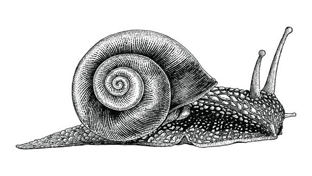 snail hand drawing vintage style - snail stock illustrations
