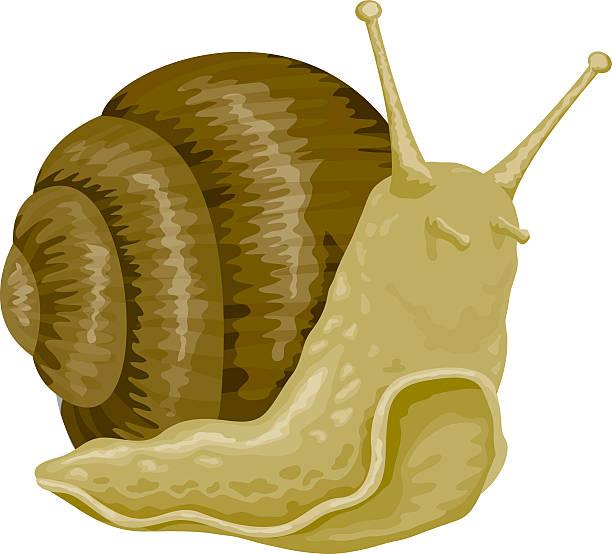 stockillustraties, clipart, cartoons en iconen met snail - slak