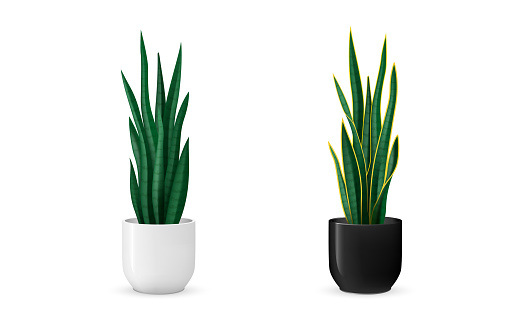 Popular houseplant to place indoors. Also called as mother-in-law's tongue. Scalable vector design.