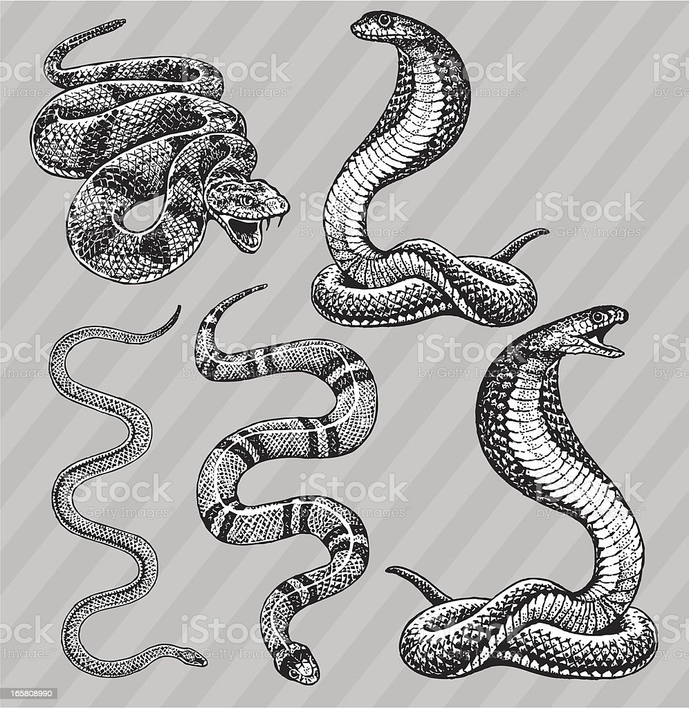 Snakes - Cobra, Kingsnake, Rattlesnake and Garter vector art illustration