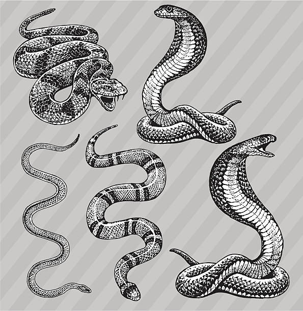 """Snakes - Cobra, Kingsnake, Rattlesnake and Garter Pen and ink style illustrations of Snakes - Cobra, Kingsnake, Rattlesnake and Garter. Layered and named. Check out my """"Vectors Animals & Insects"""" light box for more. snake stock illustrations"""