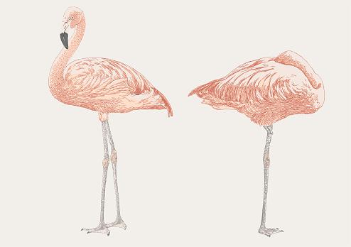 Snoozing Flamingoes