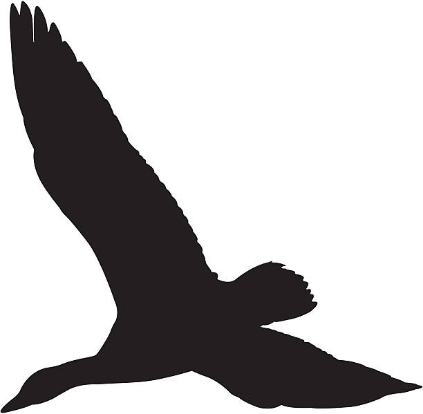Snow Goose Flying Silhouette Snow Goose flying. snow goose stock illustrations