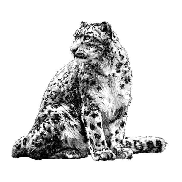 snow leopard animal sitting at full height and looking sideways tail around the body – artystyczna grafika wektorowa