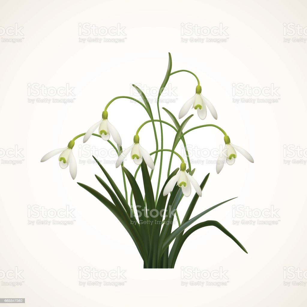 Snowdrops on a white  background. Spring vector illustration. Vector background with snowdrop. Background with flower. Illustration of flowers. Spring background